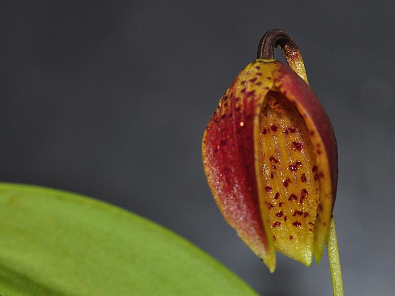 Miniatur-Orchideen Teil 6 Web_lu12