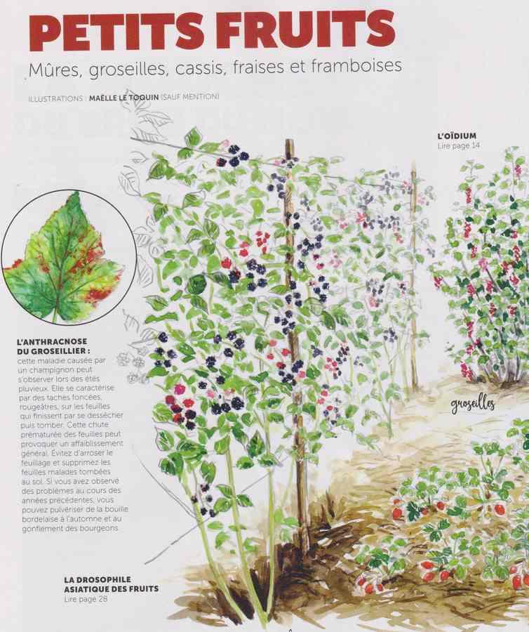 les maladies au jardin - Page 3 2610