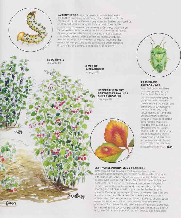 les maladies au jardin - Page 3 26a10