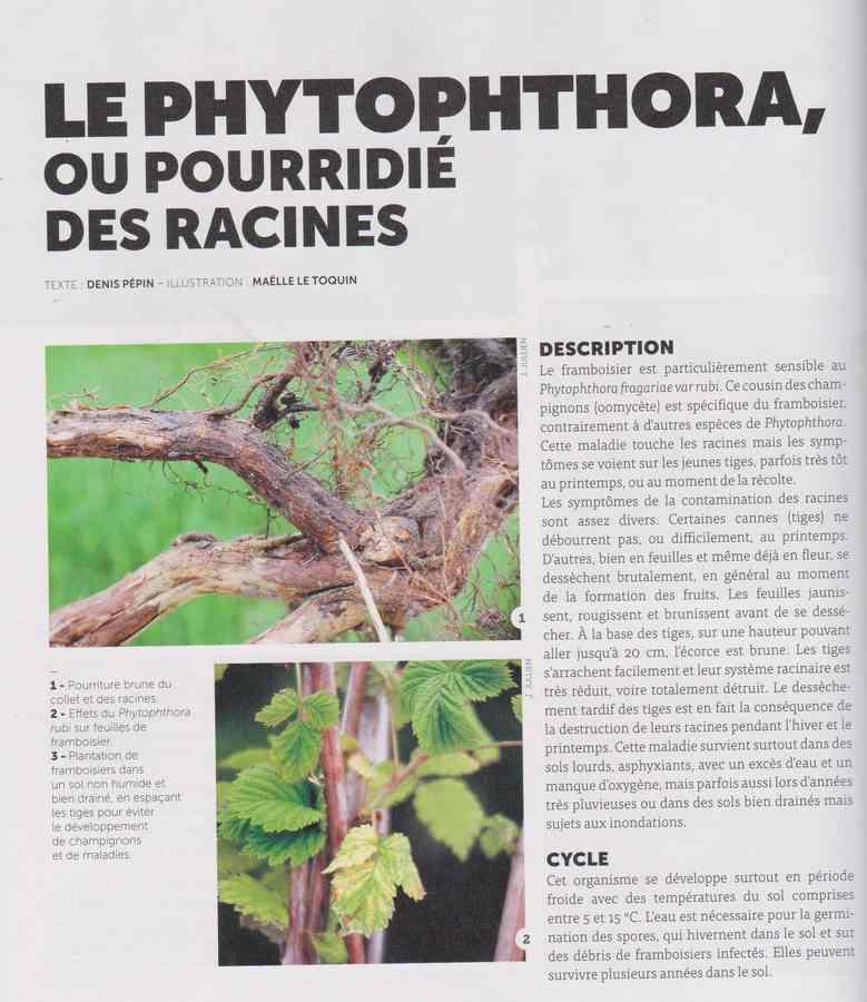 les maladies au jardin - Page 3 2912