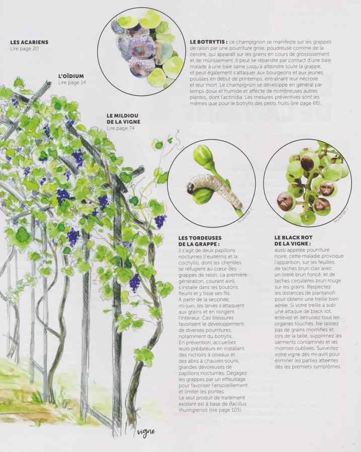 les maladies au jardin - Page 3 30a10
