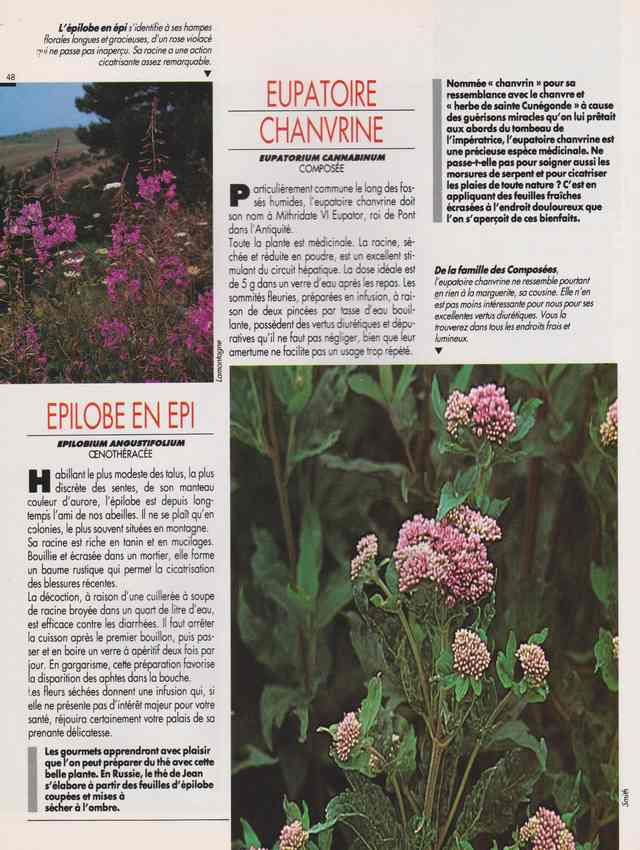 les plantes qui soignent - Page 15 6v10