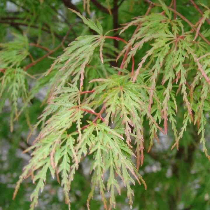 acer palmatum Seiryu Acer-p10