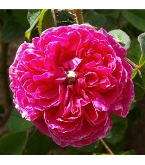 rosier duc d'Anjou Duc-d-10