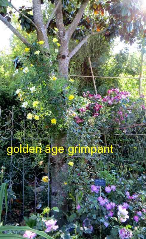 Rosier grimpant blanc Golden10