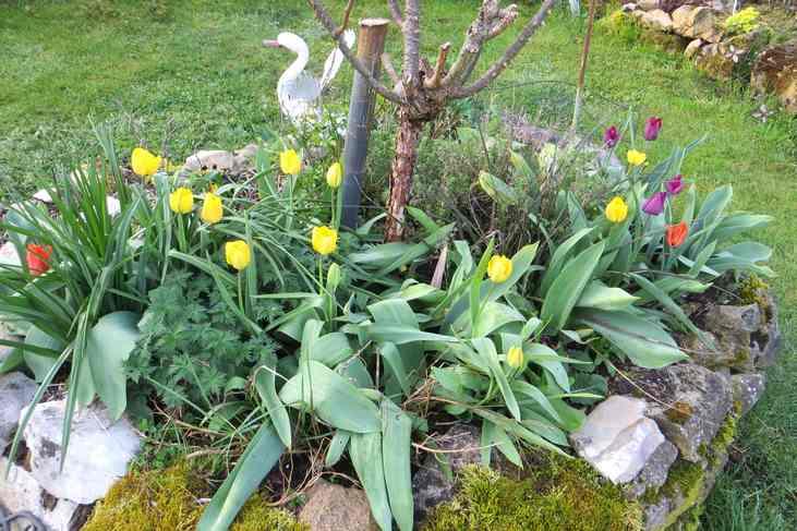 Tulipes. - Page 3 Img_5570