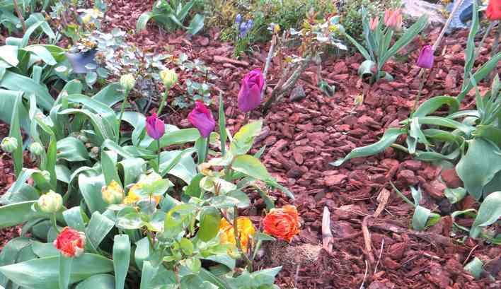 Tulipes. - Page 3 Img_5573