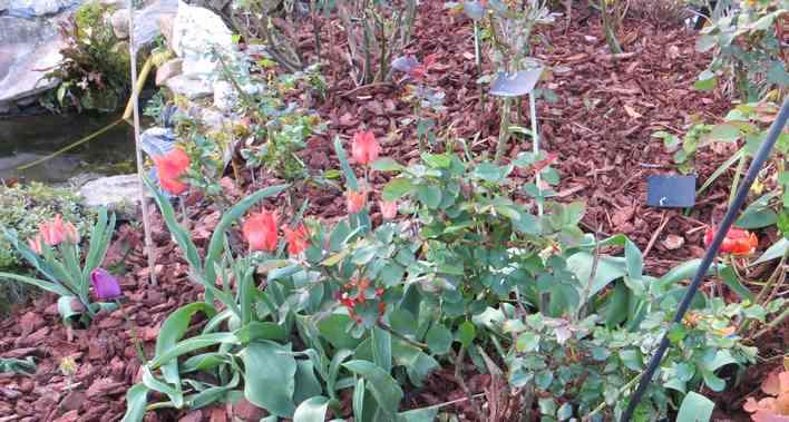 Tulipes. - Page 3 Img_5574