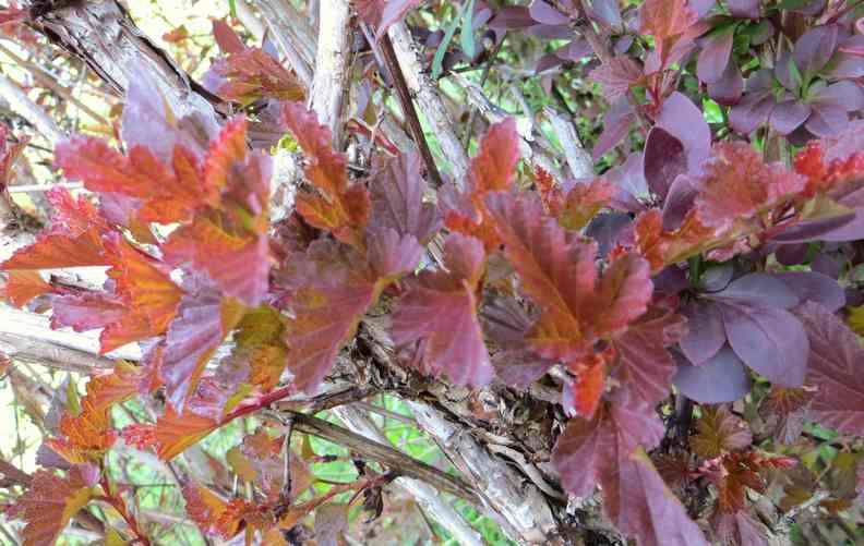 Physocarpus Diable D'or  Img_5621