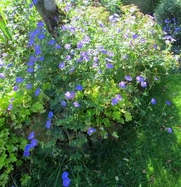 geranium vivace - Page 10 Img_5834
