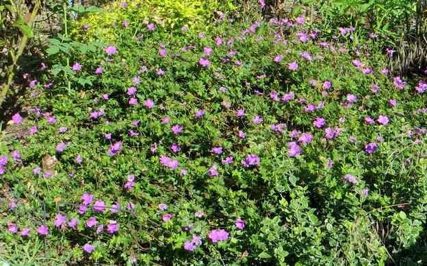 geranium vivace - Page 10 Img_5835