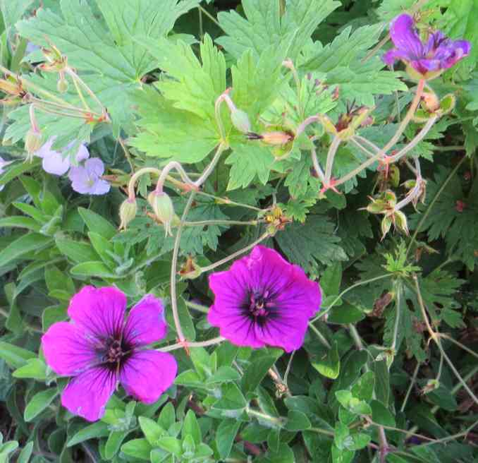 geranium vivace - Page 10 Img_5836