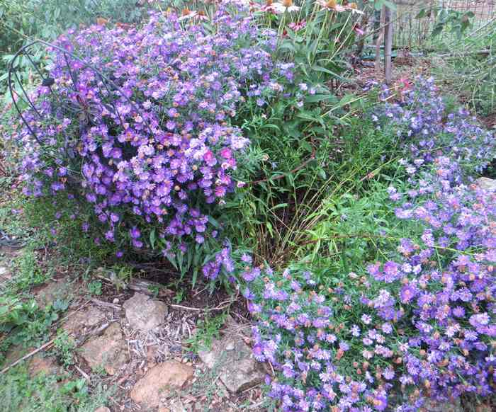 aster Img_5911