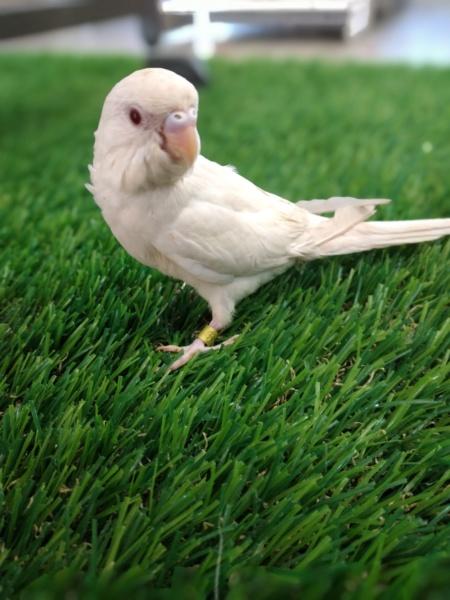 Perruche Albinos fragile ? 20210710
