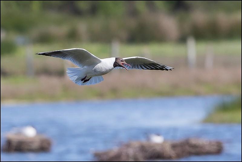 [33 - Gironde] Le Teich (avril-mai 2016) Img_9810