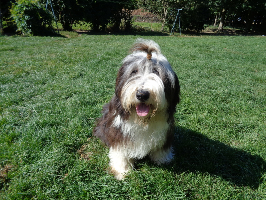 Bearded collie Woody10