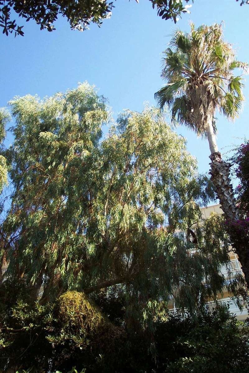 Eucalyptus calmadulensis Myrtac10