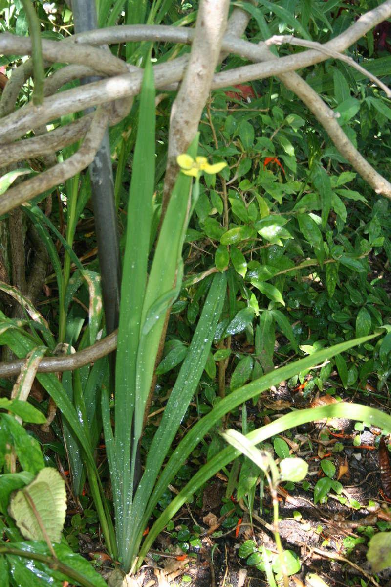 Trimezia steyermarkii Trimez12