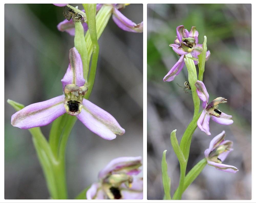 Ophrys bertolonii saratoi Druman10