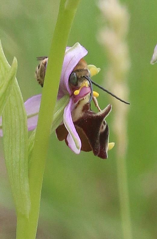 Le truc que tu vois ..... Ophrys38