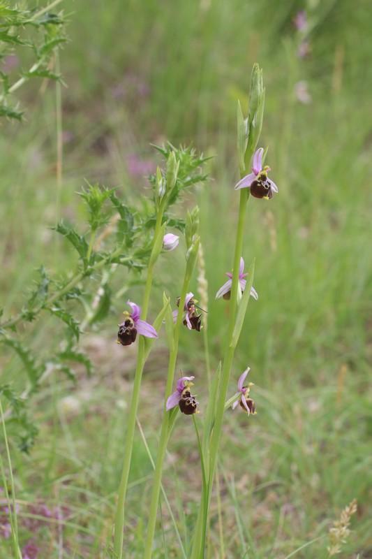 Le truc que tu vois ..... Ophrys39