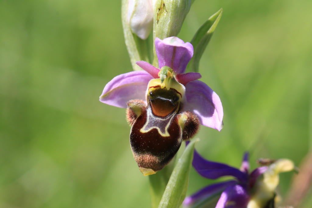 A propos d'Ophrys scolopax Ophrys48