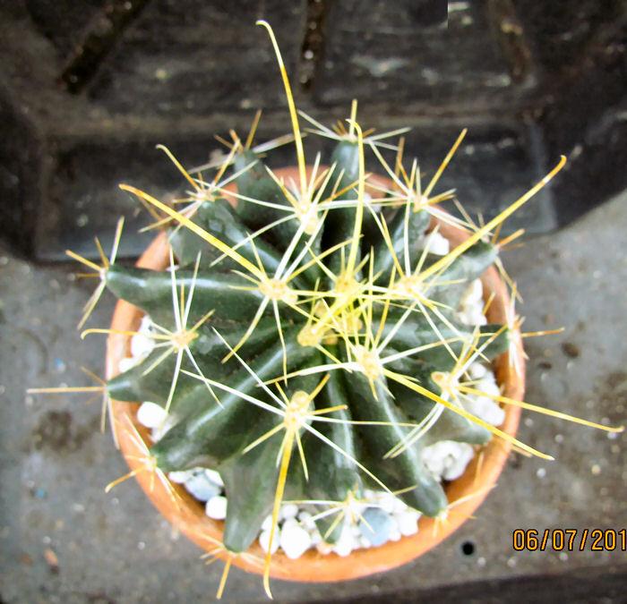 Ferocactus hamatacanthus Img_1212