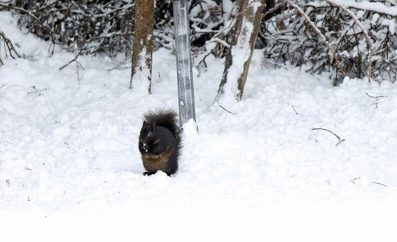 la ville se rapproche de chez moi, écureuils noirs, gris, et ..... Img_6313