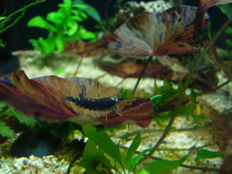 Tiger blue orange eyes Dsc00210