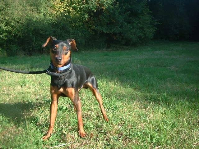 Paco Pinscher noir et feu mâle de 3 ans (Belgique) Paco10