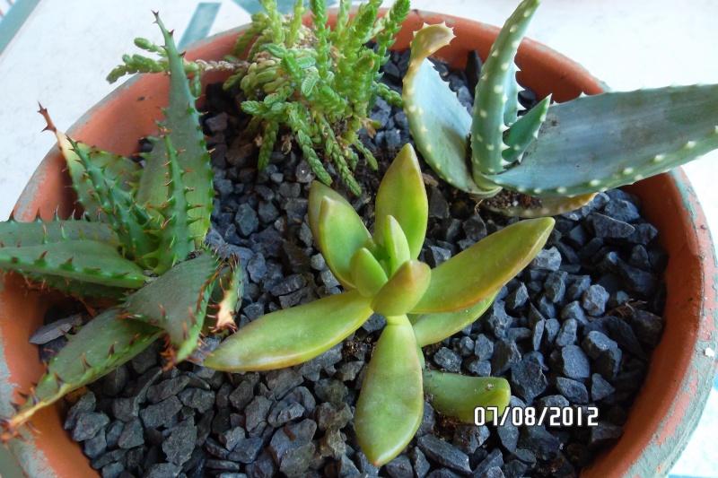 (Aloe broomii) Nouveaux spécimens 7_aout11