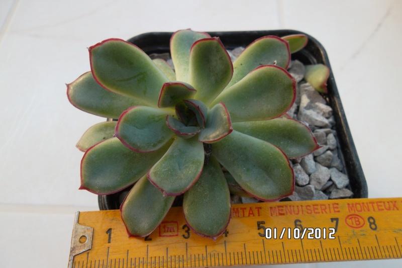 Petite  Commelinaceae  (7) [Callisia repens 'Bolivian Jewel' ] Echeva11