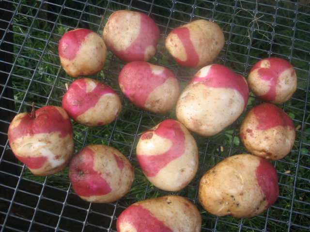 Patates 2 couleurs Patate12