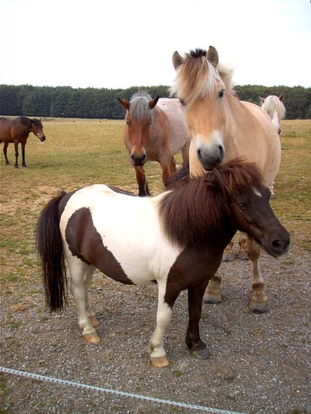 cohabitation chevaux-shetland : est-ce possible ? - Page 2 Billy_10