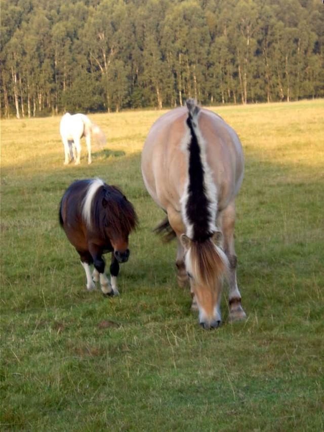 cohabitation chevaux-shetland : est-ce possible ? - Page 2 Ramy_510