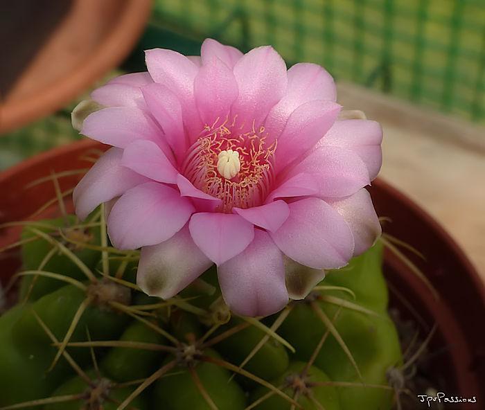 Rose bonbon... P1290110