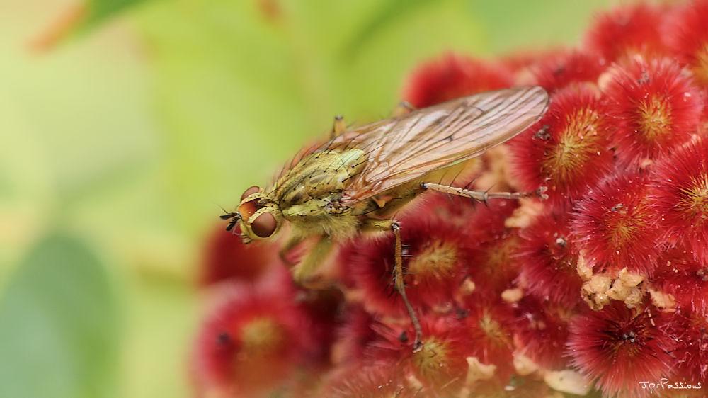Une mouche qui voit rouge P1360310
