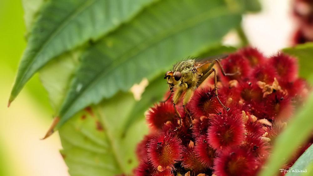 Une mouche qui voit rouge P1360311