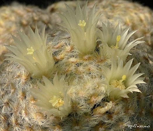 Mammillaria schiedana P1390614
