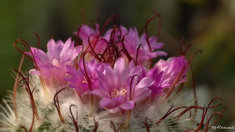 Mammillaria bombycina P1390714