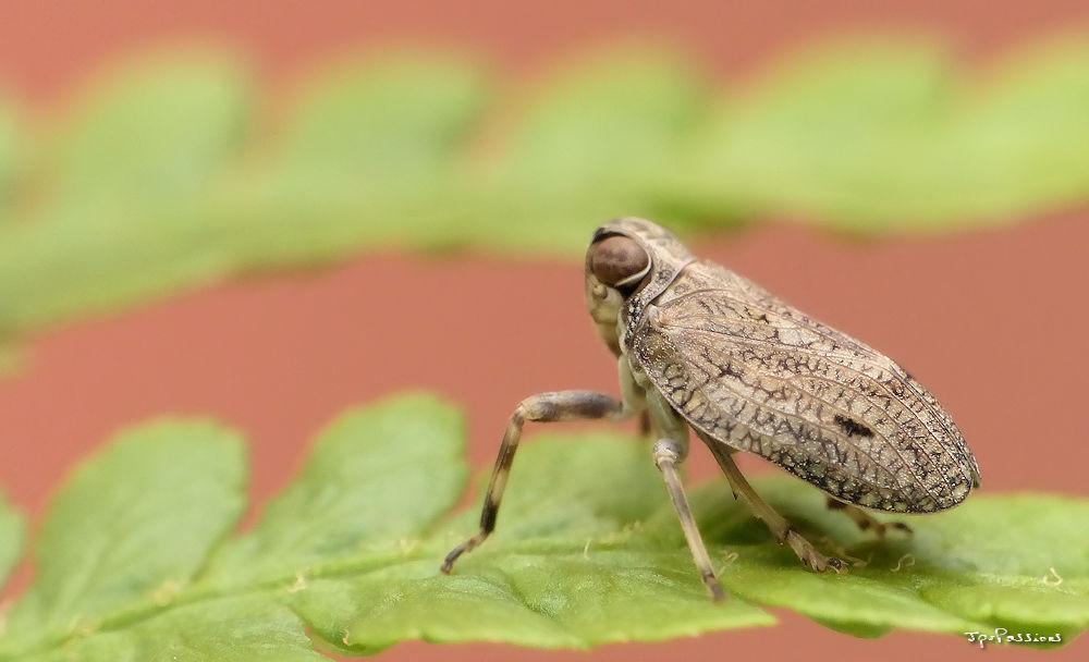 Issus coleoptratus P1400410