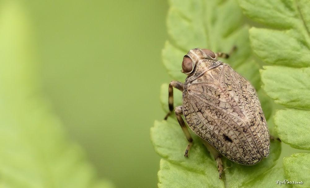 Issus coleoptratus P1400411