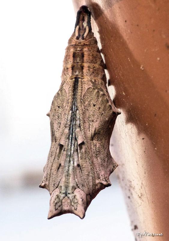 la grande tortue (Nymphalis polychloros) P1400511