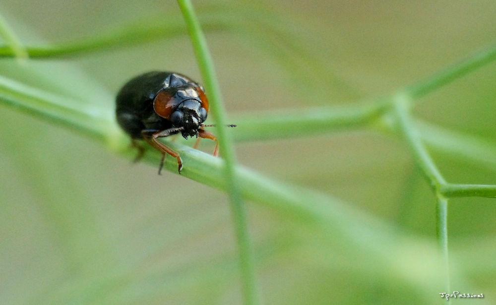 coléoptère noire P1410820