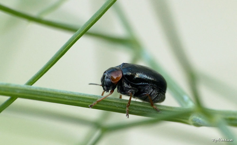coléoptère noire P1410821
