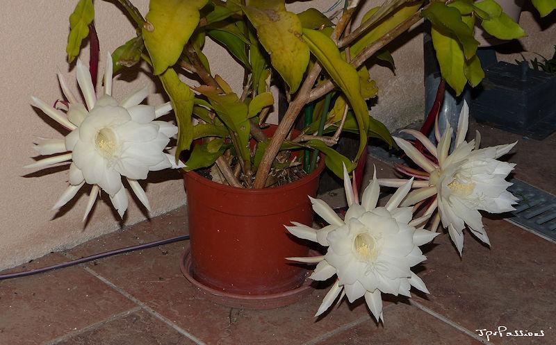 Epiphyllum oxypetalum P1440911
