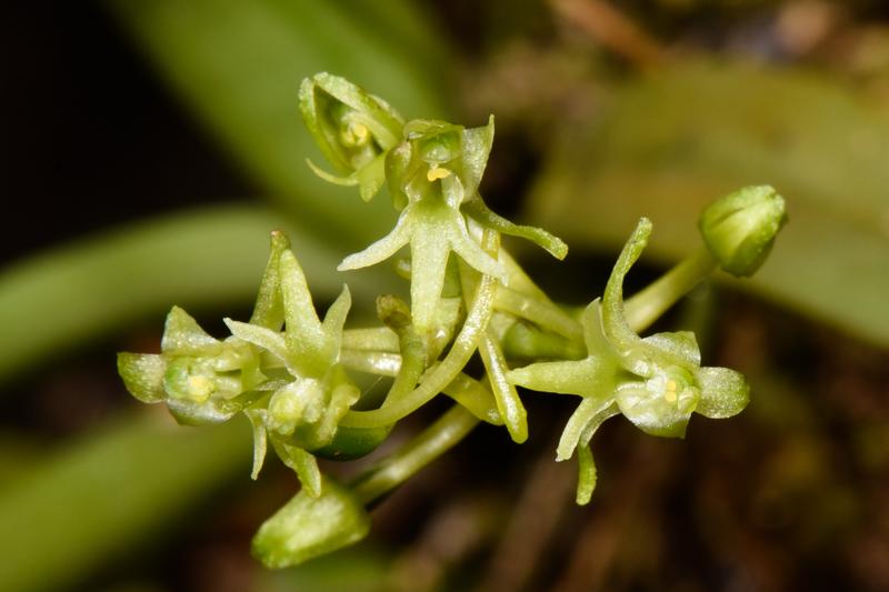 Angraecopsis parviflora Dsc_0015