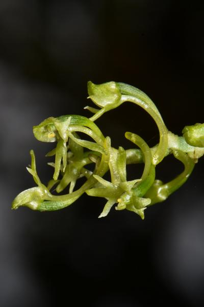 Angraecopsis parviflora Dsc_0016