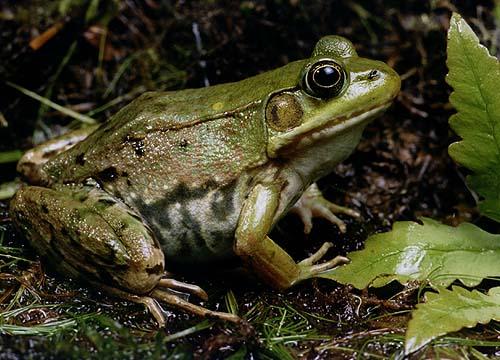Mariage de grenouilles Greenf10