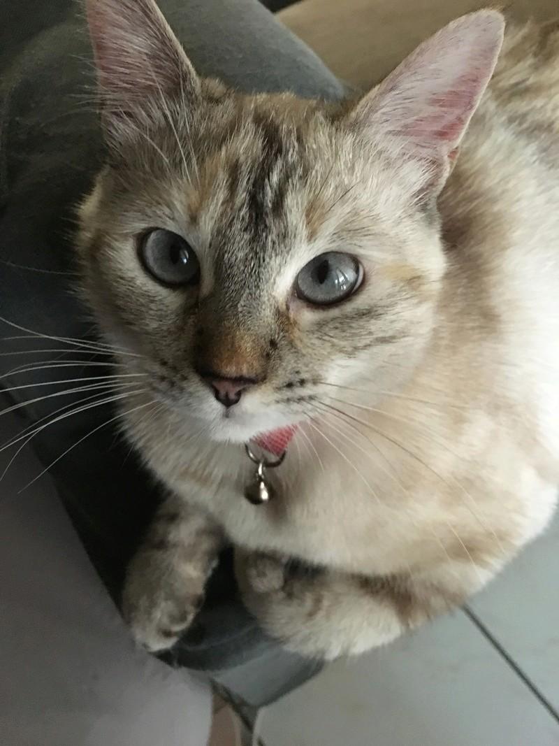 Léonie, chatte perdue. Recherche réponses ou moyens de la retrouver.... Img_3010